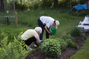 Rensning och plantering i rabatten.