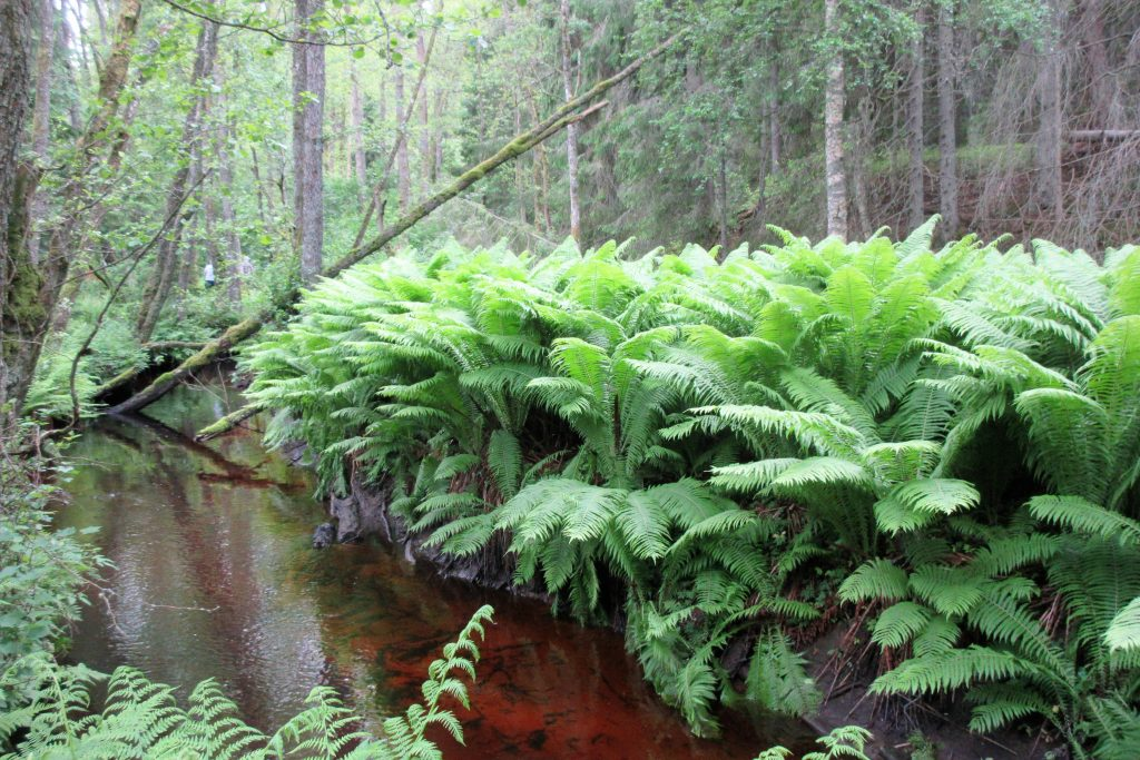 En tropisk växtlighet av Strutbräken.