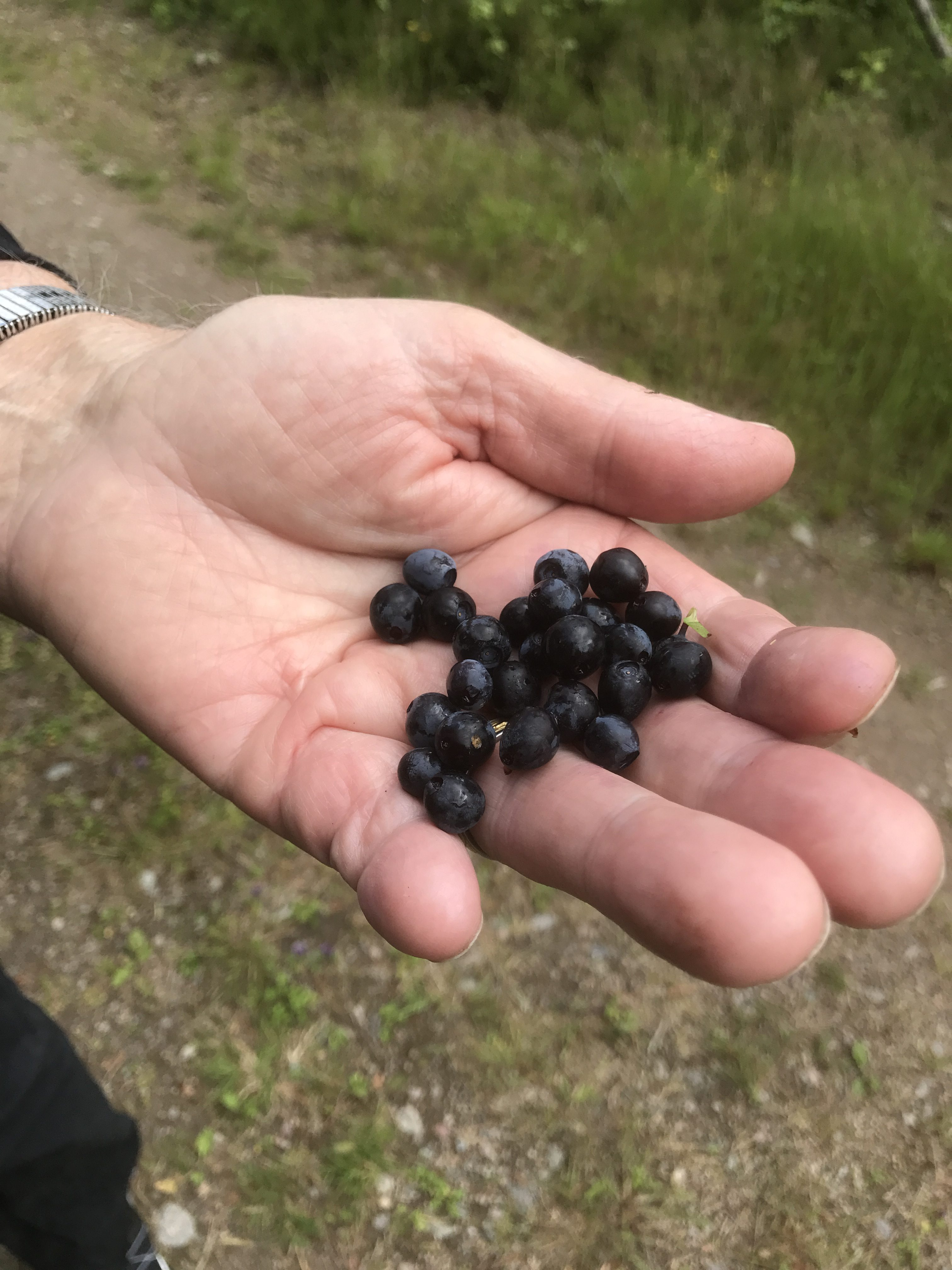 Ont om blåbär i år. Men några hittade Eskil.
