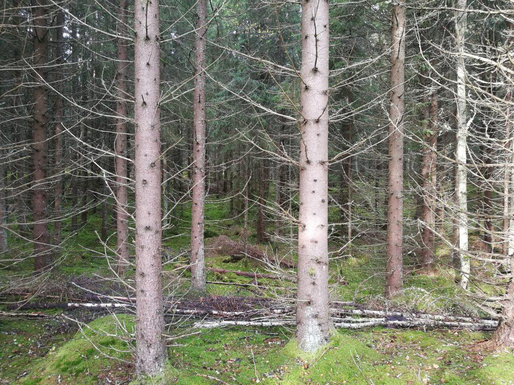 Väl skyddat av den omgivande granskogen.