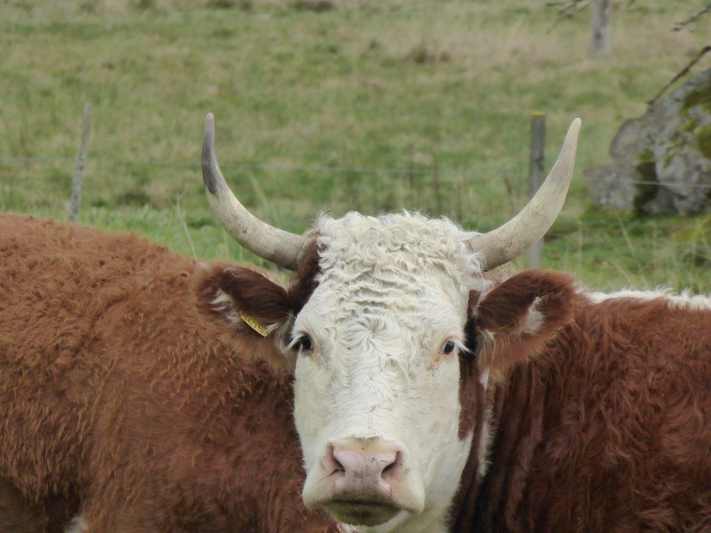 Inte ofta man ser så här vackra horn numera när de flesta avhornar sin boskap.