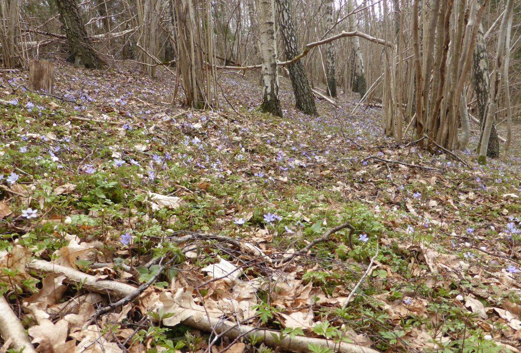 Visst fanns det blåsippor. Hav av blåsippor som stod i full blom.