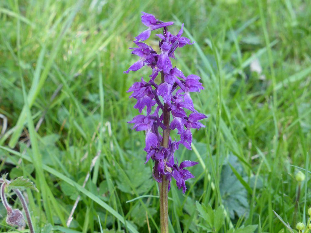 Orkidén St Pers nycklar fanns det gott om. Andra orkidéer på den torra heden var överblommade.