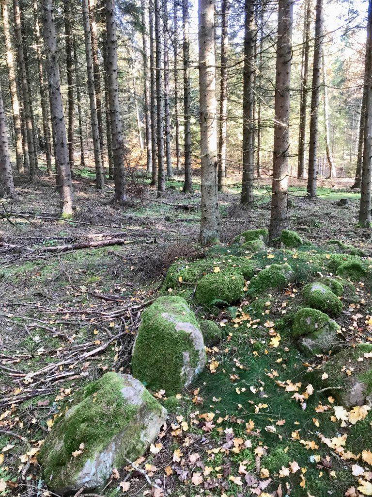 På en del gamla åkerlapparna växer i dag högvuxen granskog.