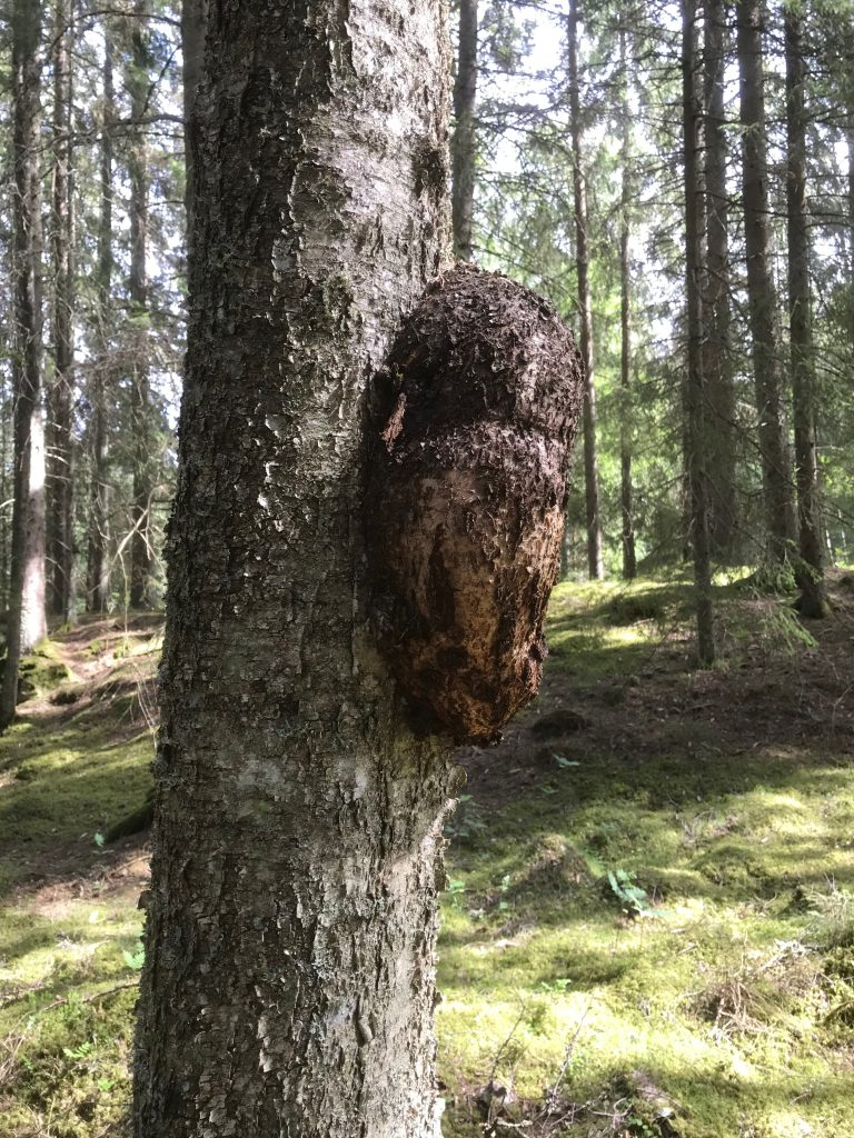 En 40-50 cm stor vril fanns på en björk. Inte så ofta man stöter på.