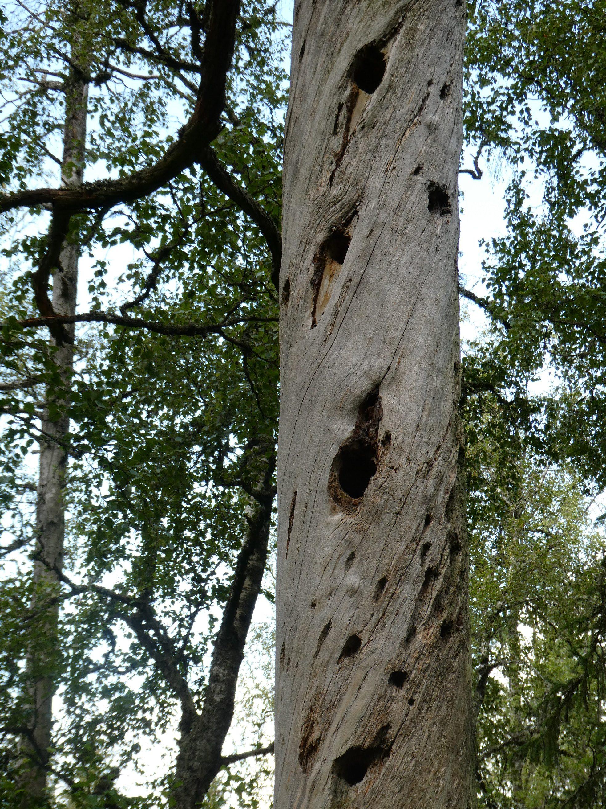 """Olika naturfenomen dyker upp. Varför en del träd är vridväxta finns det olika teorier om. Inget är bevisat. Den här torrfuran har dessutom blivit ett """"flerfamiljshus""""."""
