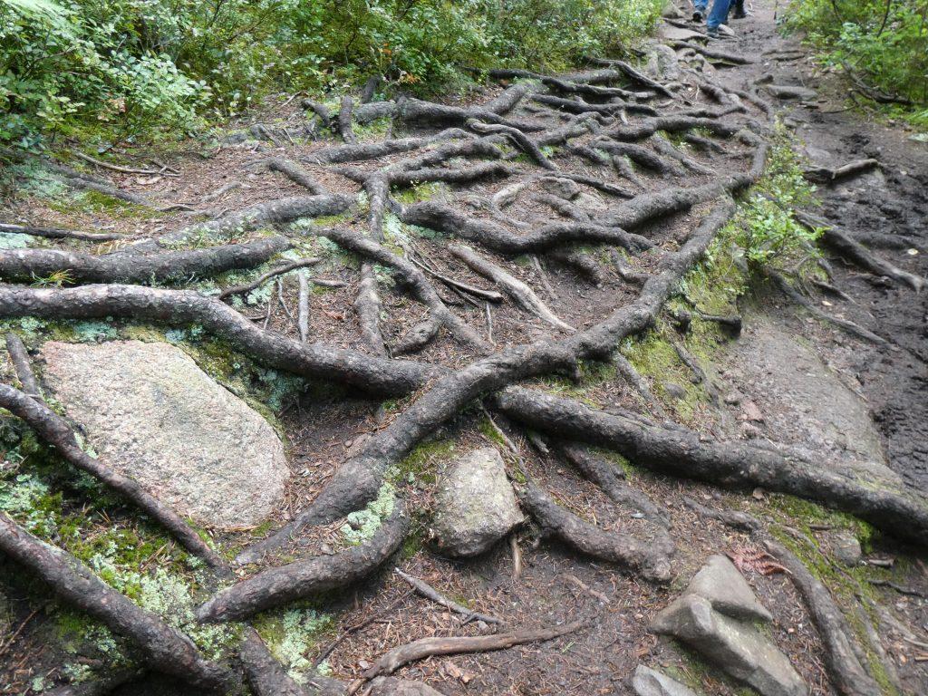 Rötter, som blivit synliga efter markslitage av tusentals besökare, bildar rena konstverk.