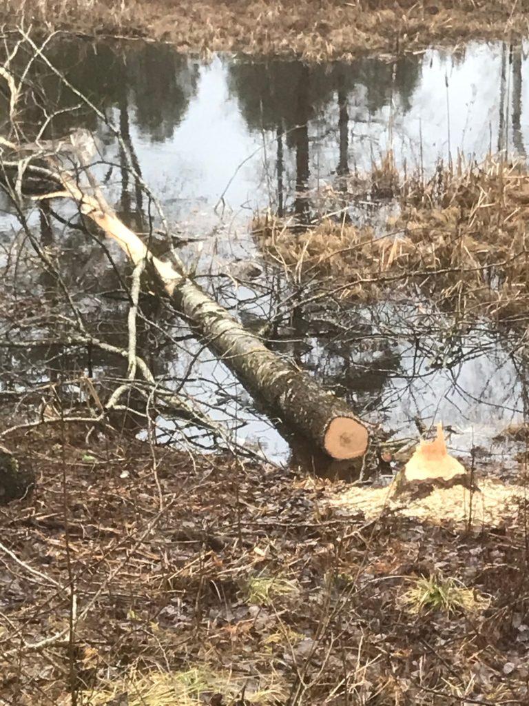 När vi passerade ån fick vi se att en bäver fällt en kraftig asp och kalasat på barken.