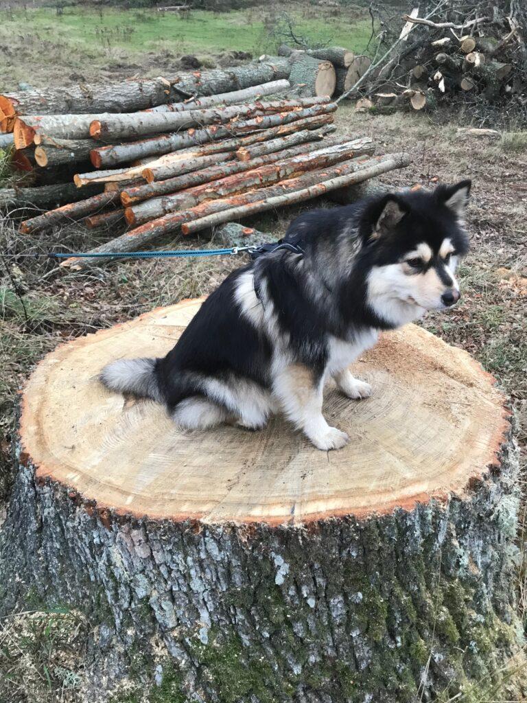 Gudrun Engmans hund, Lissi, tog genast plats på ekstubben.