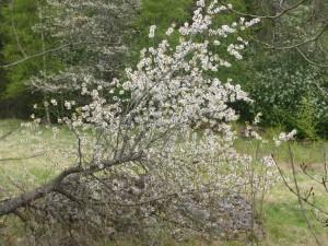 Snart var vi tillbaka i Grenåsa by där körsbärsträden blommar även om de fallit omkull.