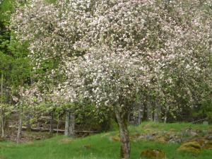 Det fanns även äppelträd som stod i full blom. Vi tacked Eskil för en trevlig runda.