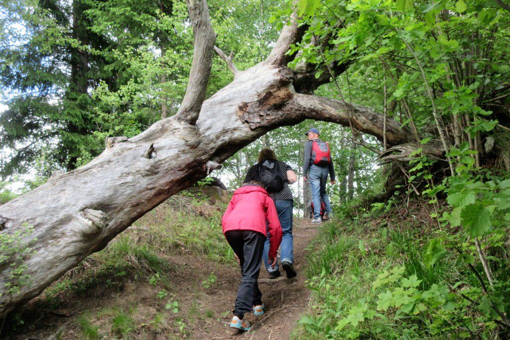 Upp från Stråken i gammal skog.