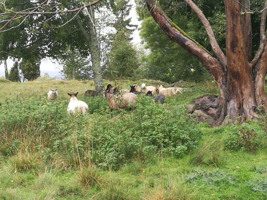 Genom fårhagar