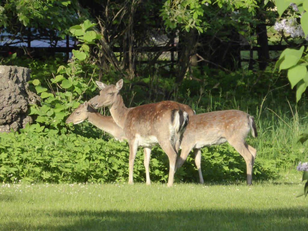 På Kinnekulle har dovhjortar invandrat i överflöd. På morgonen när vi åt frukost i trädgården stod 3 st och tittade på.
