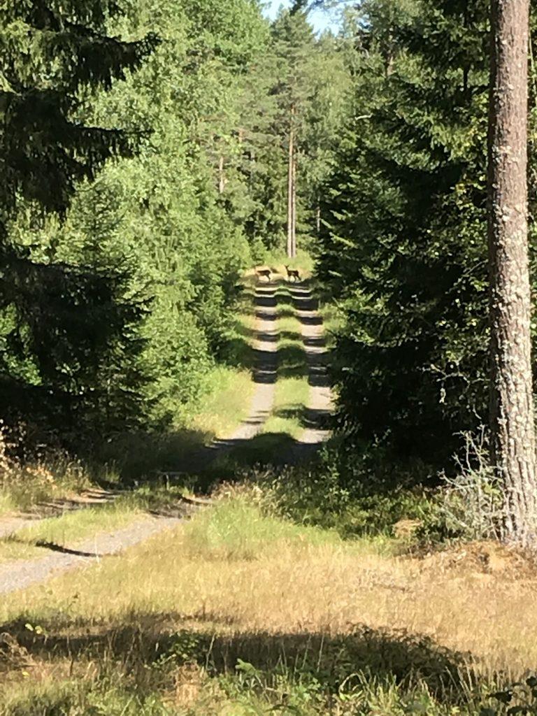 När vi sedan kom fram på Spångarydsvägen dök det upp ett par dovhjortar som undrade vad vi var för ena.