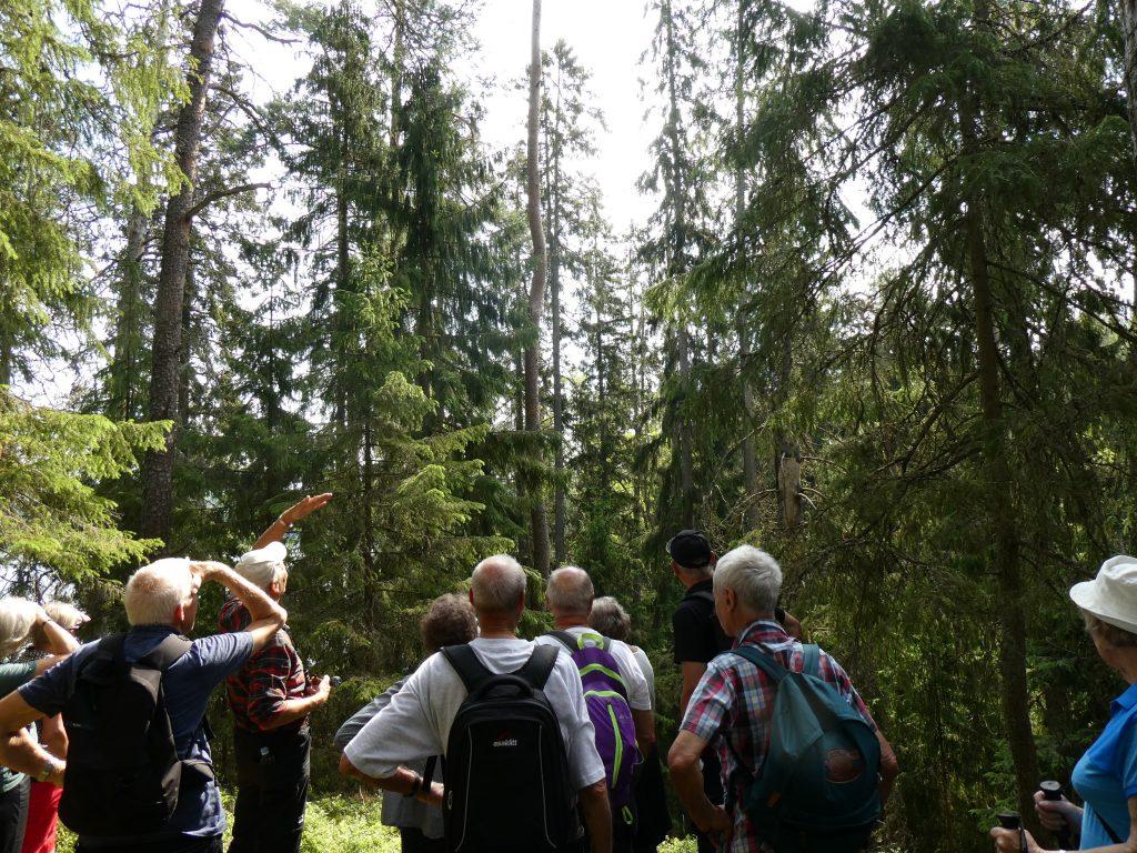 På väg ut mot udden visade Hans på 38 m höga granar.